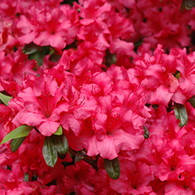 Rhododendron and Azalea Photo