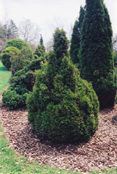 Brabant Arborvitae (Thuja occidentalis 'Brabant') at Vermeer's Garden Centre