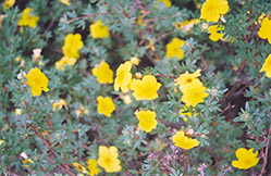 Yellow Gem Potentilla (Potentilla fruticosa 'Yellow Gem') at Vermeer's Garden Centre