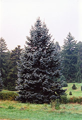 Hoopsii Blue Spruce (Picea pungens 'Hoopsii') at Vermeer's Garden Centre