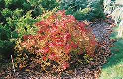 Golden Princess Spirea (Spiraea japonica 'Golden Princess') at Vermeer's Garden Centre
