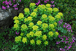 Cushion Spurge (Euphorbia polychroma) at Vermeer's Garden Centre