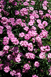 Blue Hills Pinks (Dianthus 'Blue Hills') at Vermeer's Garden Centre