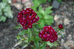 Sweet William (Dianthus barbatus) at Vermeer's Garden Centre