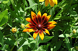 Rustic Colors Coneflower (Rudbeckia hirta 'Rustic Colors') at Vermeer's Garden Centre