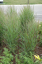 Shenandoah Reed Switch Grass (Panicum virgatum 'Shenandoah') at Vermeer's Garden Centre