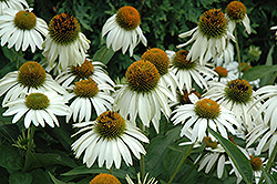 White Swan Coneflower (Echinacea purpurea 'White Swan') at Vermeer's Garden Centre