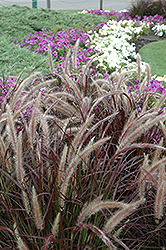 Purple Fountain Grass (Pennisetum setaceum 'Rubrum') at Vermeer's Garden Centre