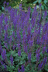 May Night Sage (Salvia x sylvestris 'May Night') at Vermeer's Garden Centre