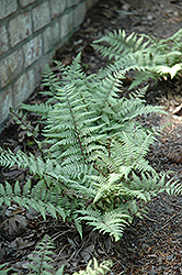 Ghost Fern (Athyrium 'Ghost') at Vermeer's Garden Centre