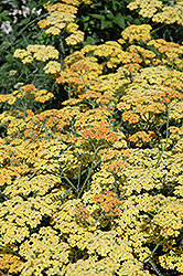 Terra Cotta Yarrow (Achillea 'Terra Cotta') at Vermeer's Garden Centre