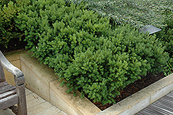 Dark Green Spreader Yew (Taxus x media 'Dark Green Spreader') at Vermeer's Garden Centre