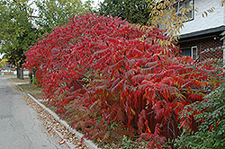 Staghorn Sumac (Rhus typhina) at Vermeer's Garden Centre