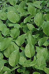 Royal Standard Hosta (Hosta 'Royal Standard') at Vermeer's Garden Centre