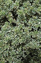 Variegated Boxwood (Buxus sempervirens 'Variegata') at Vermeer's Garden Centre