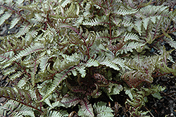 Red Beauty Painted Fern (Athyrium nipponicum 'Red Beauty') at Vermeer's Garden Centre