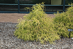 Sungold Falsecypress (Chamaecyparis pisifera 'Sungold') at Vermeer's Garden Centre