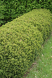 Green Gem Boxwood (Buxus 'Green Gem') at Vermeer's Garden Centre