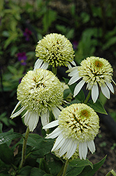 Coconut Lime Coneflower (Echinacea 'Coconut Lime') at Vermeer's Garden Centre