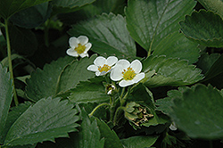 Everbearing Strawberry (Fragaria 'Everbearing') at Vermeer's Garden Centre