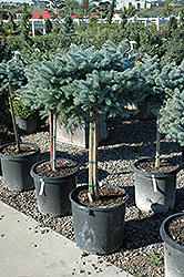 Globe Blue Spruce (tree form) (Picea pungens 'Globosa (tree form)') at Vermeer's Garden Centre