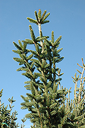 Columnar Norway Spruce (Picea abies 'Cupressina') at Vermeer's Garden Centre