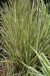 Northern Lights Tufted Hair Grass (Deschampsia cespitosa 'Northern Lights') at Vermeer's Garden Centre