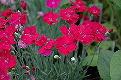 Neon Star Pinks (Dianthus 'Neon Star') at Vermeer's Garden Centre