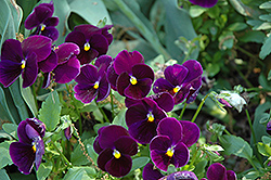 Matrix® Purple Pansy (Viola 'PAS770616') at Vermeer's Garden Centre