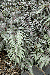 Pewter Lace Painted Fern (Athyrium nipponicum 'Pewter Lace') at Vermeer's Garden Centre