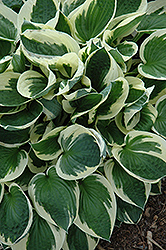 Patriot Hosta (Hosta 'Patriot') at Vermeer's Garden Centre