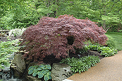 Red Select Japanese Maple (Acer palmatum 'Red Select') at Vermeer's Garden Centre