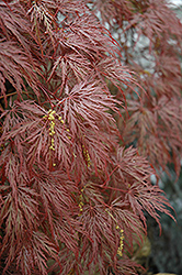 Inaba Shidare Cutleaf Japanese Maple (Acer palmatum 'Inaba Shidare') at Vermeer's Garden Centre