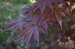 Moonfire Japanese Maple (Acer palmatum 'Moonfire') at Vermeer's Garden Centre