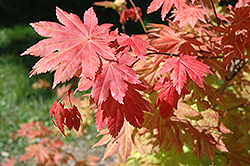 Autumn Moon Full Moon Maple (Acer shirasawanum 'Autumn Moon') at Vermeer's Garden Centre
