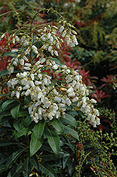Mountain Fire Japanese Pieris (Pieris japonica 'Mountain Fire') at Vermeer's Garden Centre
