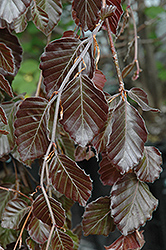 Purple Fountain Beech (Fagus sylvatica 'Purple Fountain') at Vermeer's Garden Centre