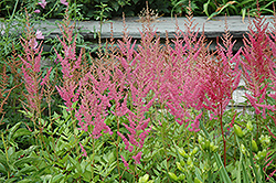 Visions in Pink Chinese Astilbe (Astilbe chinensis 'Visions in Pink') at Vermeer's Garden Centre