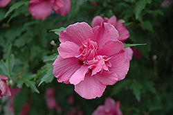 Lucy Rose Of Sharon (Hibiscus syriacus 'Lucy') at Vermeer's Garden Centre