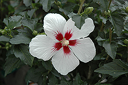 Lil' Kim® Rose of Sharon (Hibiscus syriacus 'Antong Two') at Vermeer's Garden Centre