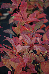Little Henry® Virginia Sweetspire (Itea virginica 'Sprich') at Vermeer's Garden Centre