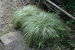 New Zealand Hair Sedge (Carex comans 'Frosted Curls') at Vermeer's Garden Centre