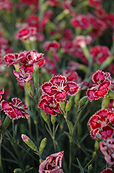Cranberry Ice Pinks (Dianthus 'Cranberry Ice') at Vermeer's Garden Centre