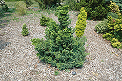 Split Rock Blue Hinoki Falsecypress (Chamaecyparis obtusa 'Split Rock') at Vermeer's Garden Centre