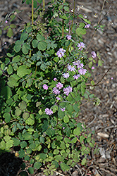 Hewitt's Double Meadow Rue (Thalictrum delavayi 'Hewitt's Double') at Vermeer's Garden Centre