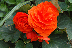 Nonstop® Golden Orange Begonia (Begonia 'Nonstop Golden Orange') at Vermeer's Garden Centre