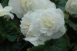 Nonstop® White Begonia (Begonia 'Nonstop White') at Vermeer's Garden Centre