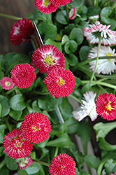 Bellisima Red English Daisy (Bellis perennis 'Bellissima Red') at Vermeer's Garden Centre