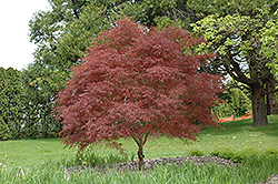 Dwarf Red Pygmy Japanese Maple (Acer palmatum 'Red Pygmy') at Vermeer's Garden Centre