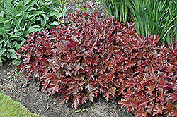 Chocolate Ruffles Coral Bells (Heuchera 'Chocolate Ruffles') at Vermeer's Garden Centre